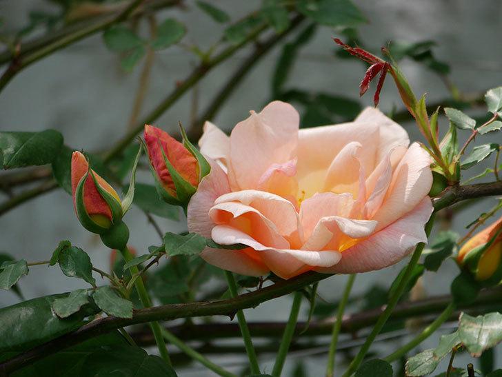 クレパスキュール(ツルバラ)の花が咲きだした。2019年-5.jpg