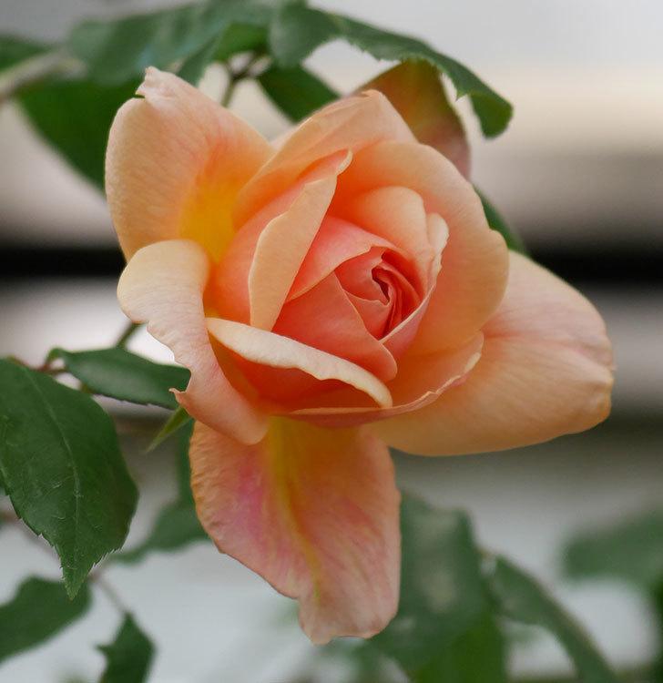 クレパスキュール(ツルバラ)の花が咲きだした。2019年-6.jpg