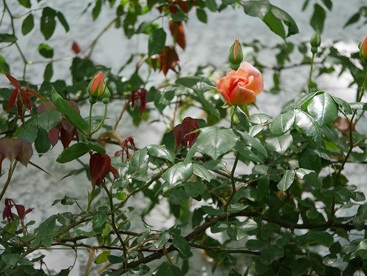 クレパスキュール(ツルバラ)の花が咲きだした。2019年-7.jpg