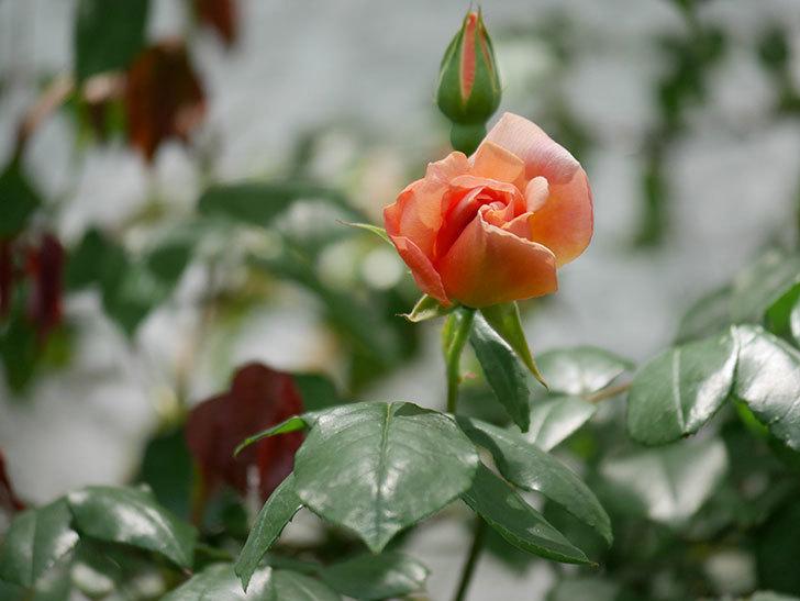 クレパスキュール(ツルバラ)の花が咲きだした。2019年-8.jpg