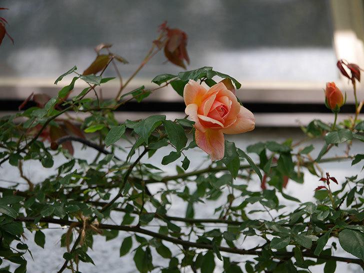 クレパスキュール(ツルバラ)の花が咲きだした。2019年-9.jpg