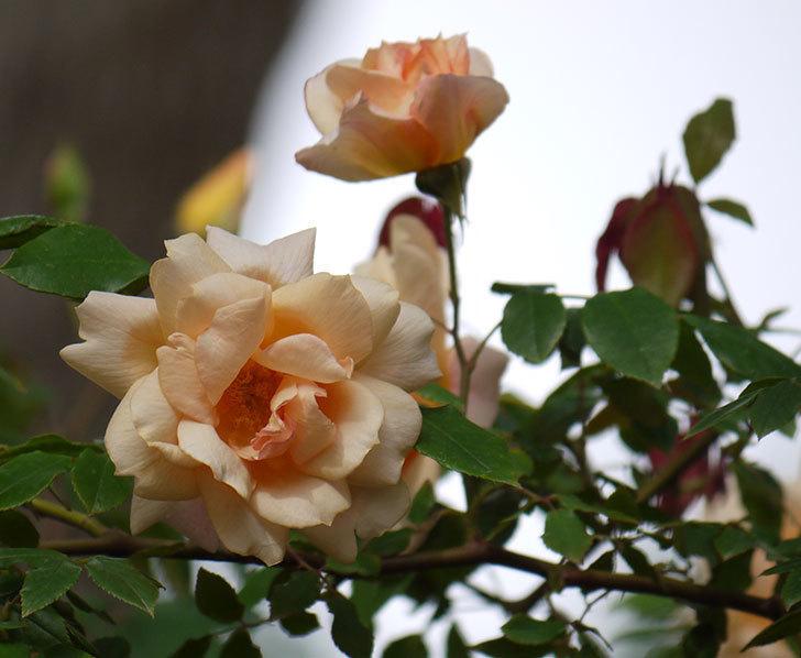クレパスキュール(ツルバラ)の花が増えてきた。2017年-1.jpg
