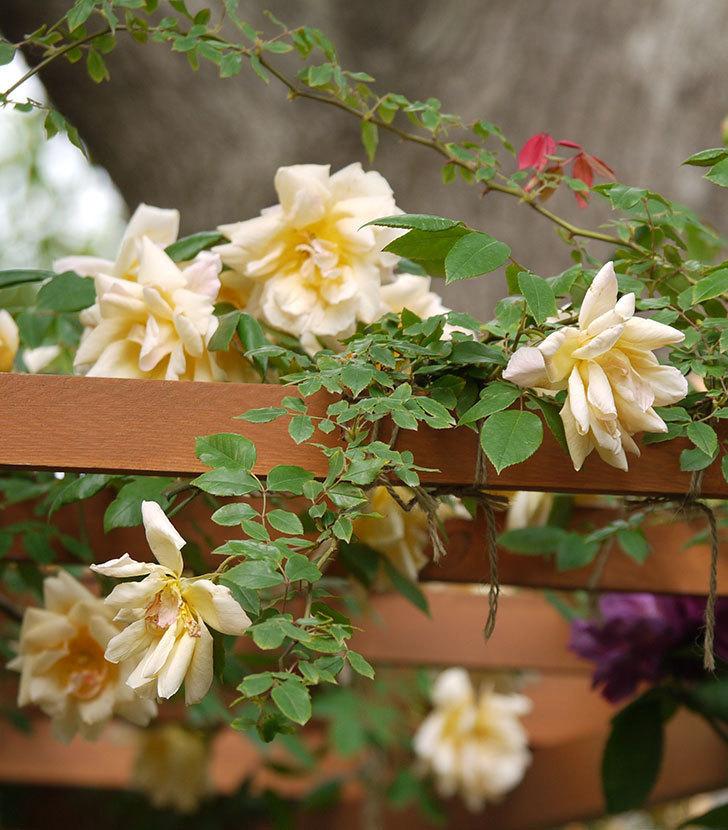 クレパスキュール(ツルバラ)の花が増えてきた。2017年-10.jpg