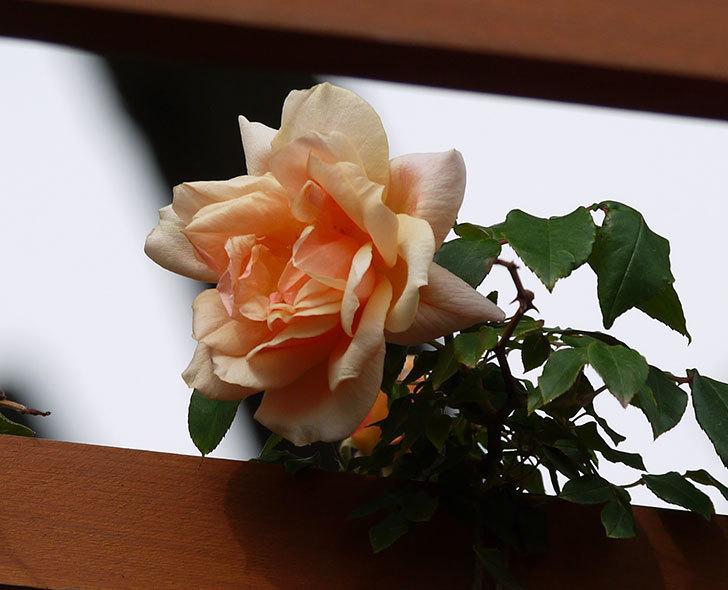 クレパスキュール(ツルバラ)の花が増えてきた。2017年-11.jpg