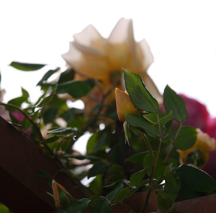 クレパスキュール(ツルバラ)の花が増えてきた。2017年-12.jpg