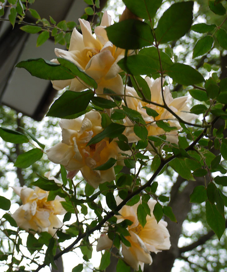 クレパスキュール(ツルバラ)の花が増えてきた。2017年-15.jpg
