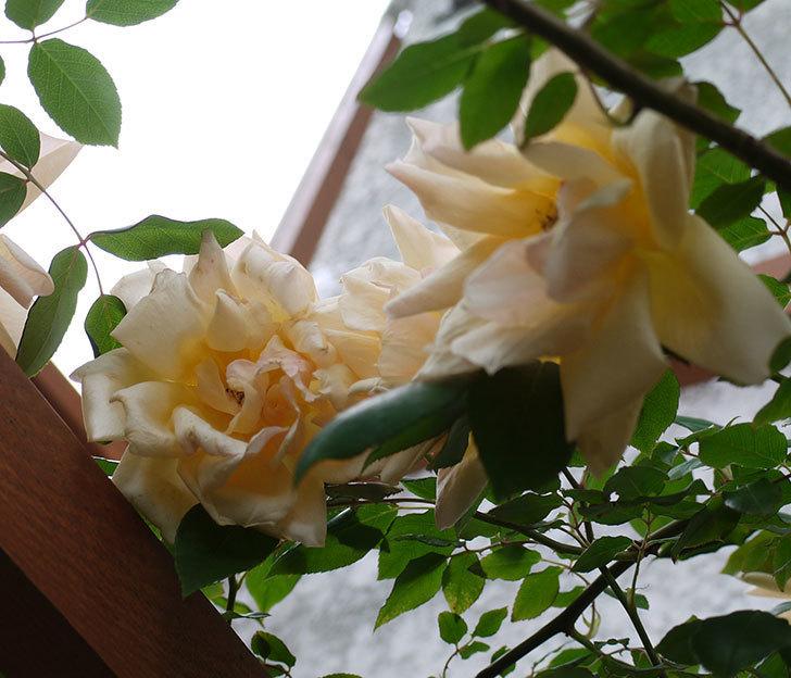 クレパスキュール(ツルバラ)の花が増えてきた。2017年-17.jpg
