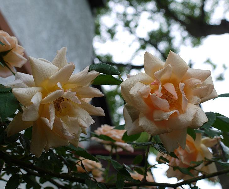 クレパスキュール(ツルバラ)の花が増えてきた。2017年-18.jpg