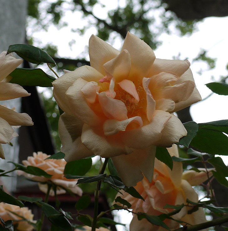 クレパスキュール(ツルバラ)の花が増えてきた。2017年-19.jpg