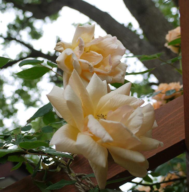 クレパスキュール(ツルバラ)の花が増えてきた。2017年-20.jpg