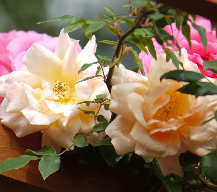クレパスキュール(ツルバラ)の花が増えてきた。2017年-5.jpg