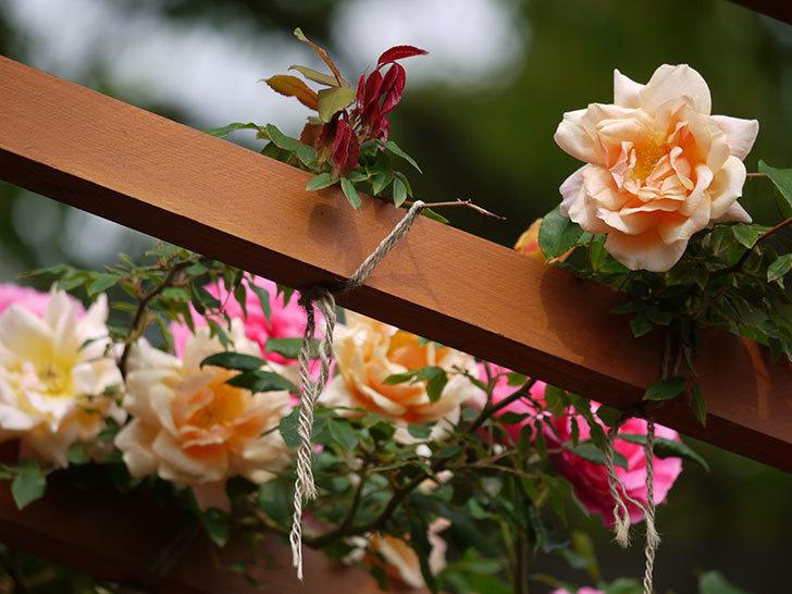 クレパスキュール(ツルバラ)の花が増えてきた。2017年-6.jpg