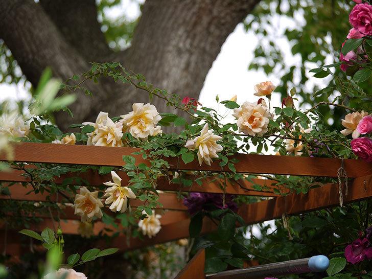 クレパスキュール(ツルバラ)の花が増えてきた。2017年-7.jpg
