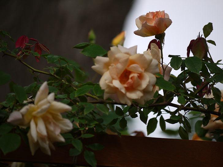 クレパスキュール(ツルバラ)の花が増えてきた。2017年-8.jpg