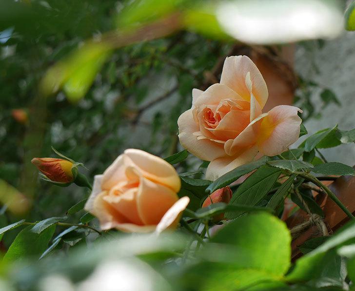 クレパスキュール(ツルバラ)の花が増えてきた。2018年-1.jpg