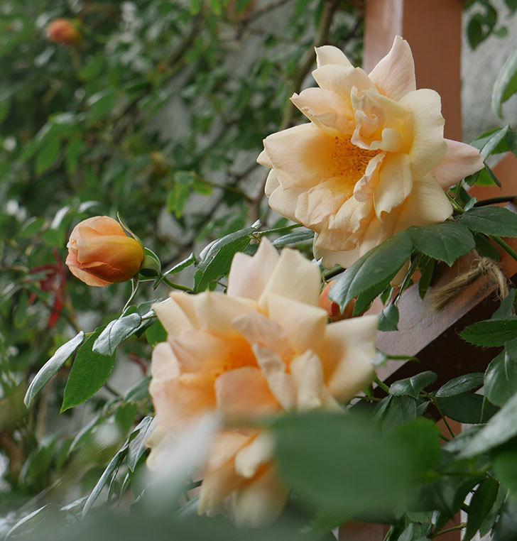 クレパスキュール(ツルバラ)の花が増えてきた。2018年-11.jpg