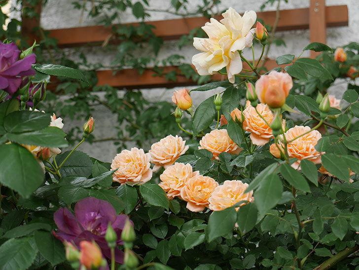 クレパスキュール(ツルバラ)の花が増えてきた。2018年-12.jpg