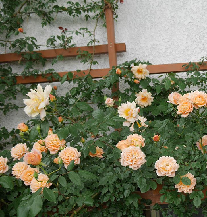 クレパスキュール(ツルバラ)の花が増えてきた。2018年-14.jpg