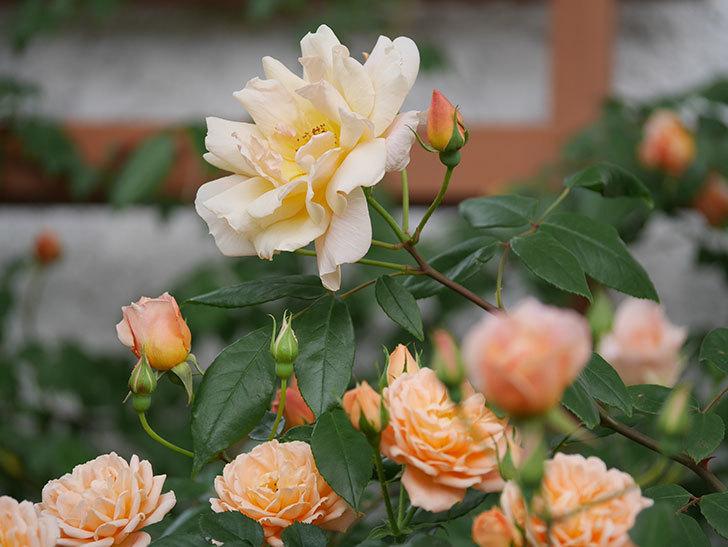 クレパスキュール(ツルバラ)の花が増えてきた。2018年-15.jpg
