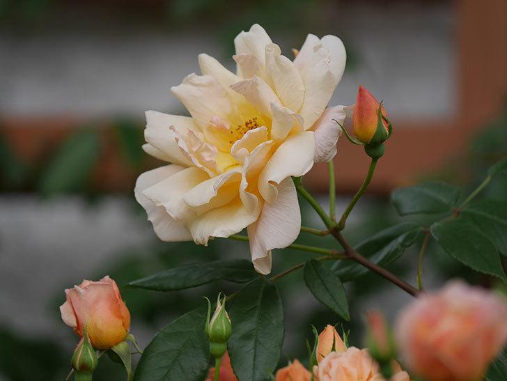 クレパスキュール(ツルバラ)の花が増えてきた。2018年-16.jpg