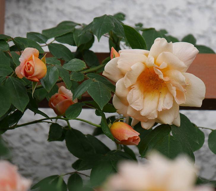 クレパスキュール(ツルバラ)の花が増えてきた。2018年-17.jpg