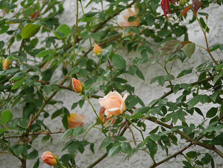 クレパスキュール(ツルバラ)の花が増えてきた。2018年-18.jpg