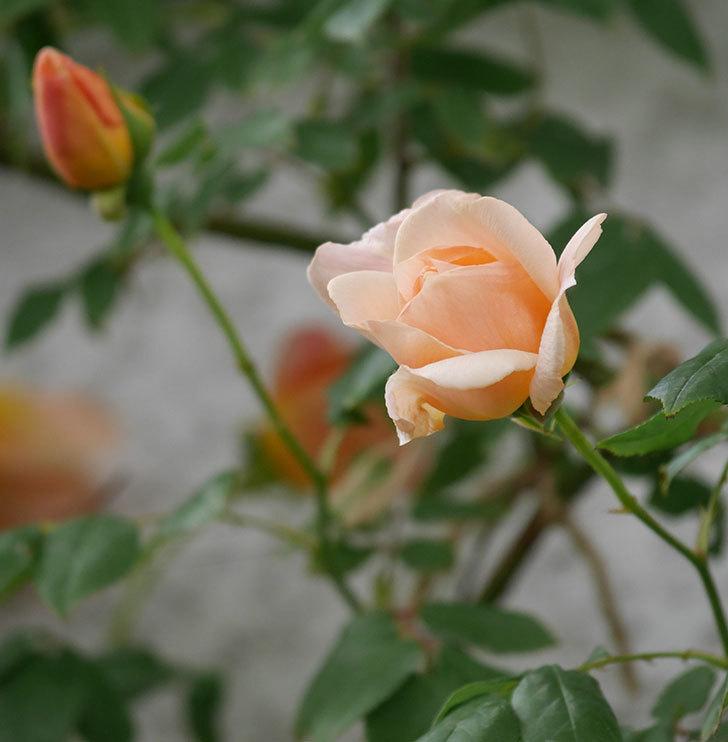 クレパスキュール(ツルバラ)の花が増えてきた。2018年-19.jpg