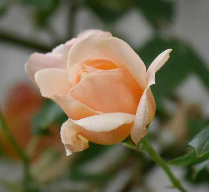 クレパスキュール(ツルバラ)の花が増えてきた。2018年-21.jpg