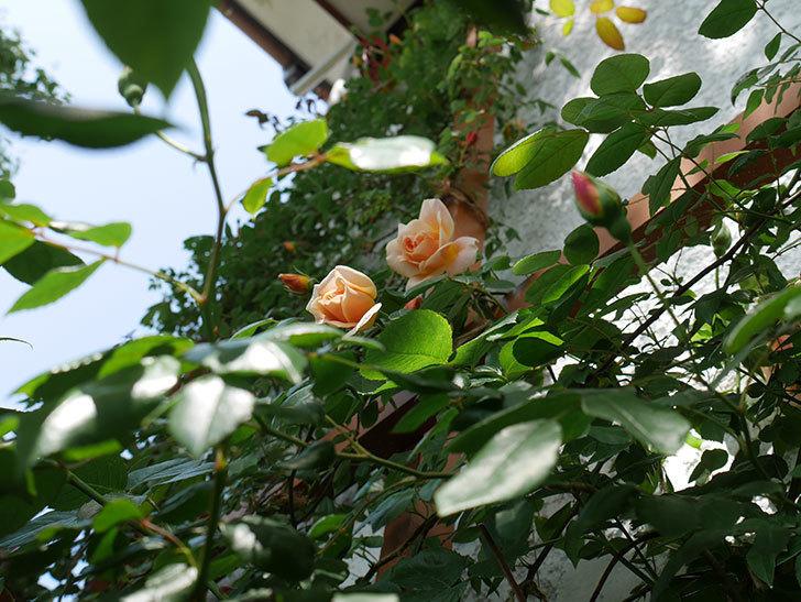 クレパスキュール(ツルバラ)の花が増えてきた。2018年-3.jpg