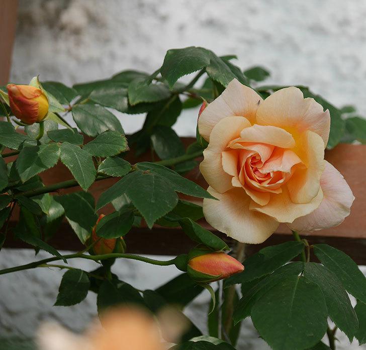 クレパスキュール(ツルバラ)の花が増えてきた。2018年-4.jpg
