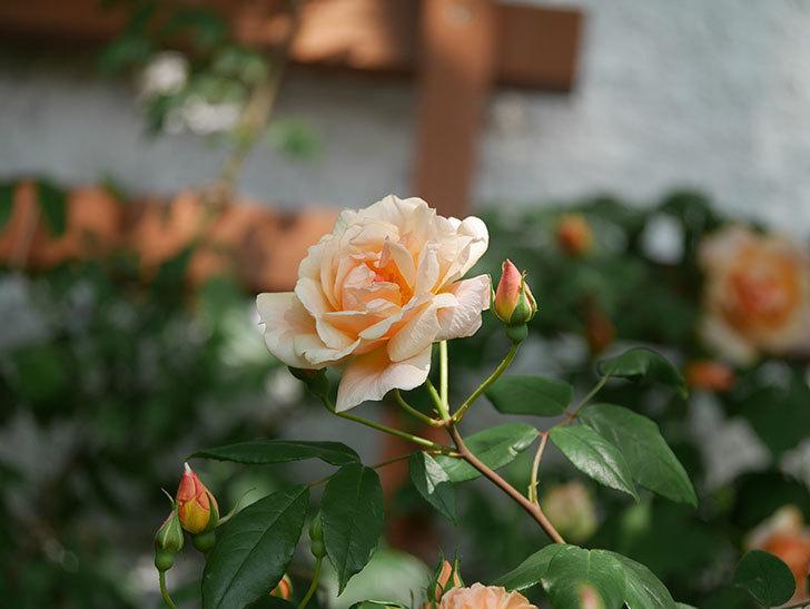 クレパスキュール(ツルバラ)の花が増えてきた。2018年-6.jpg