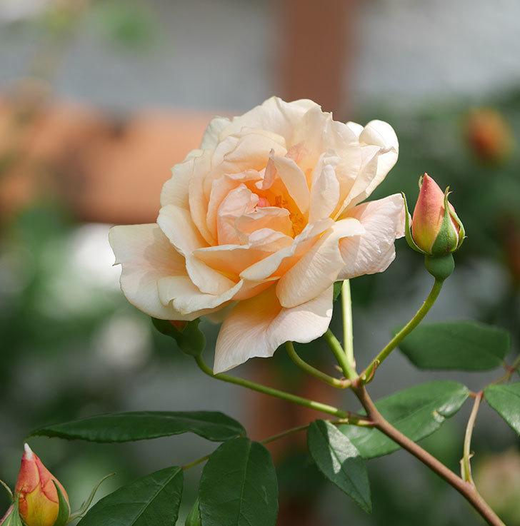 クレパスキュール(ツルバラ)の花が増えてきた。2018年-7.jpg
