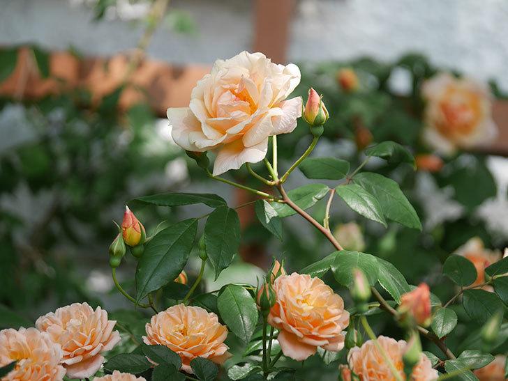 クレパスキュール(ツルバラ)の花が増えてきた。2018年-8.jpg