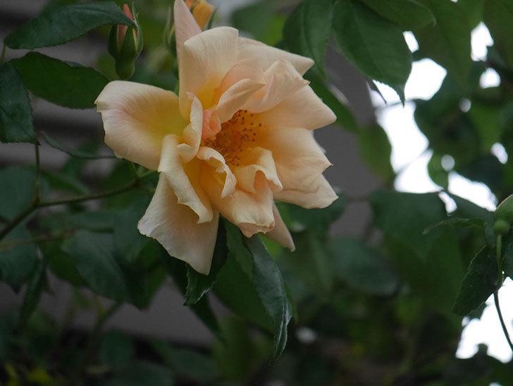 クレパスキュール(半ツルバラ)の花が咲いた。2020年-1.jpg