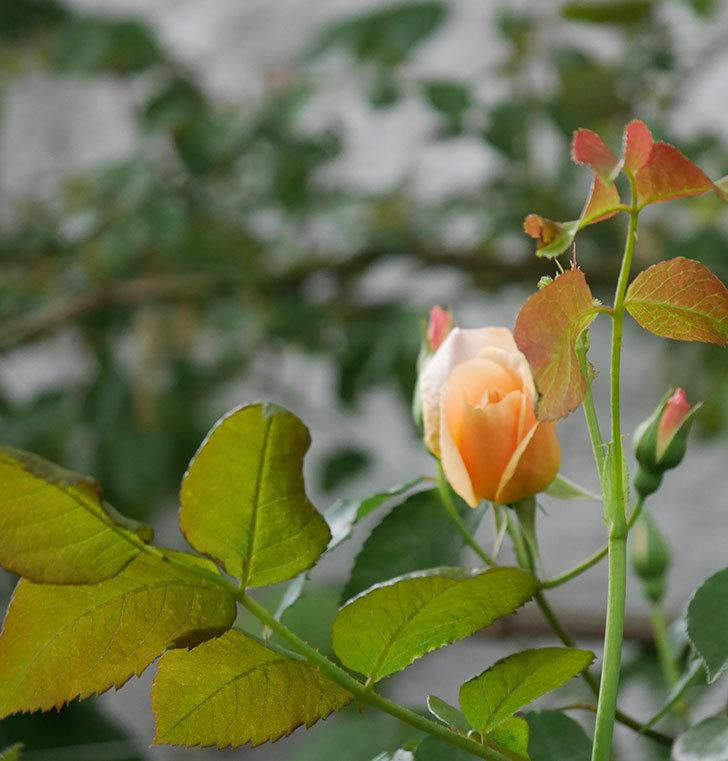 クレパスキュール(半ツルバラ)の花が咲いた。2020年-3.jpg