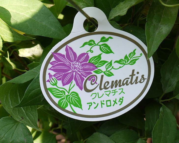 クレマチス-アンドロメダの開花株がホームズで1,200円だったので買って来た。2016年-4.jpg