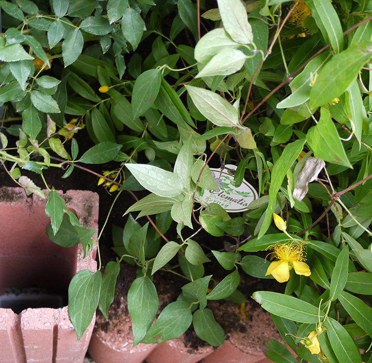 クレマチス-アンドロメダの開花株をクレパスキュール(ツルバラ)の横の地植えした。2016年-1.jpg