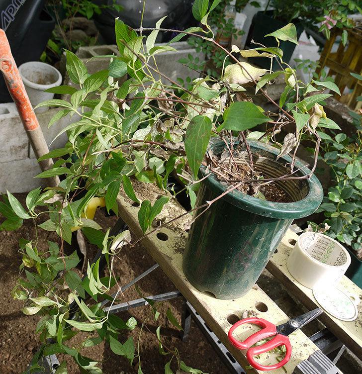 クレマチス-アンドロメダの開花株をクレパスキュール(ツルバラ)の横の地植えした。2016年-3.jpg