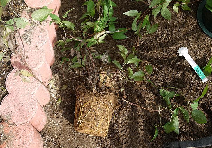 クレマチス-アンドロメダの開花株をクレパスキュール(ツルバラ)の横の地植えした。2016年-4.jpg