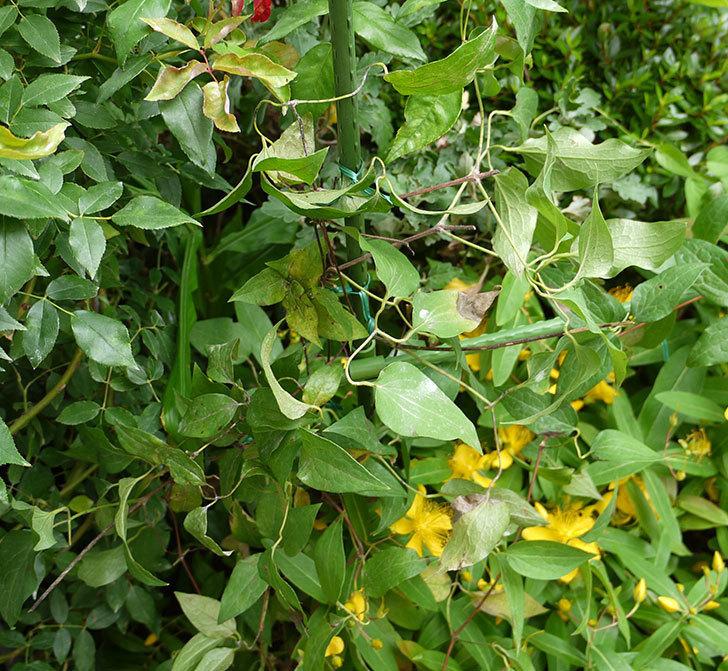 クレマチス-アンドロメダの開花株をクレパスキュール(ツルバラ)の横の地植えした。2016年-7.jpg