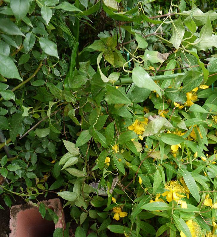 クレマチス-アンドロメダの開花株をクレパスキュール(ツルバラ)の横の地植えした。2016年-8.jpg