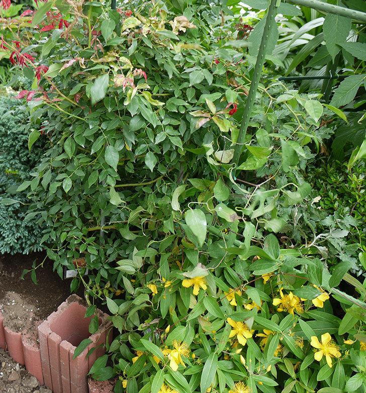 クレマチス-アンドロメダの開花株をクレパスキュール(ツルバラ)の横の地植えした。2016年-9.jpg