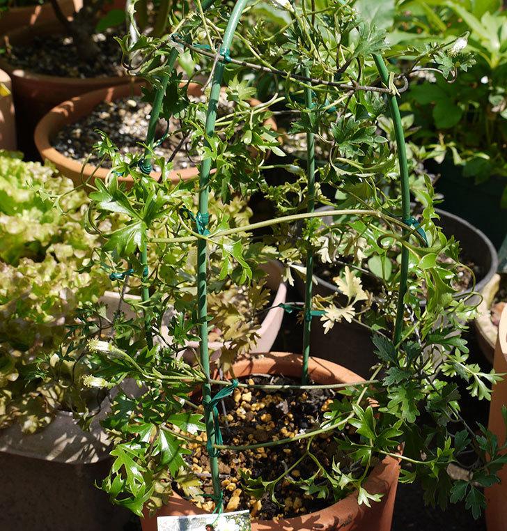 クレマチス-アーリーセンセーションを鉢に植えて誘引し直した。2016年-1.jpg
