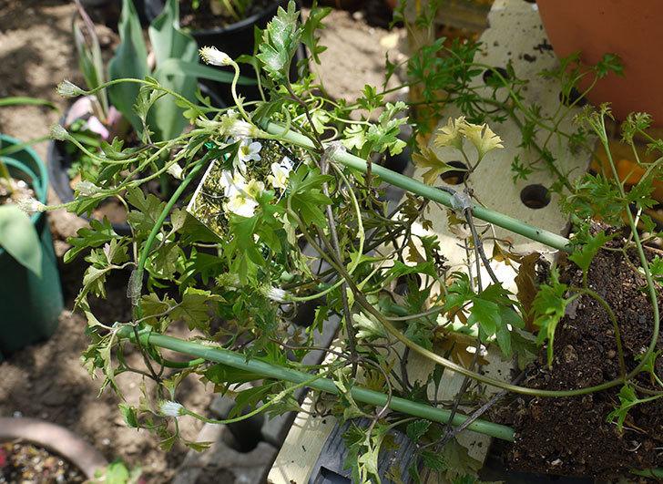 クレマチス-アーリーセンセーションを鉢に植えて誘引し直した。2016年-2.jpg