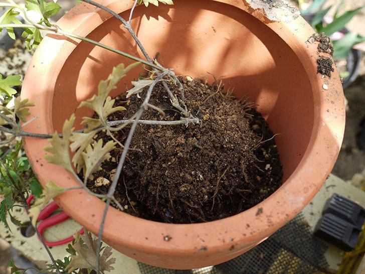 クレマチス-アーリーセンセーションを鉢に植えて誘引し直した。2016年-4.jpg