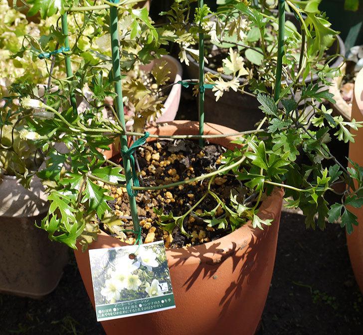 クレマチス-アーリーセンセーションを鉢に植えて誘引し直した。2016年-6.jpg