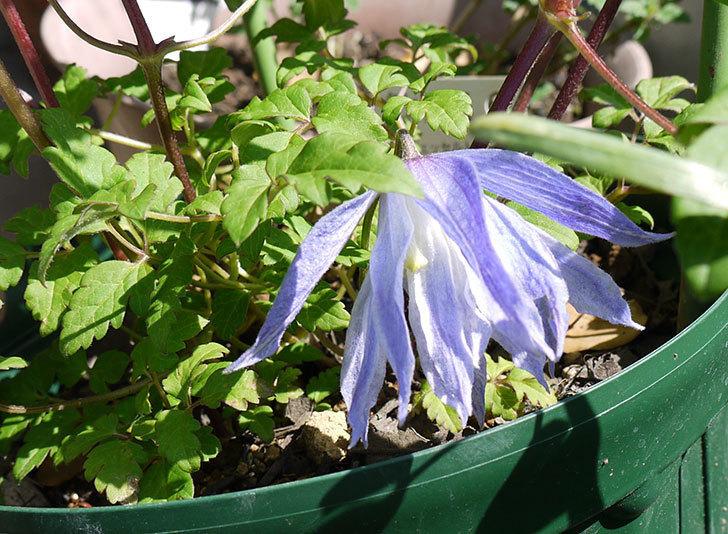 クレマチス-ウェッセルトンの花が1個だけ咲いた1.jpg