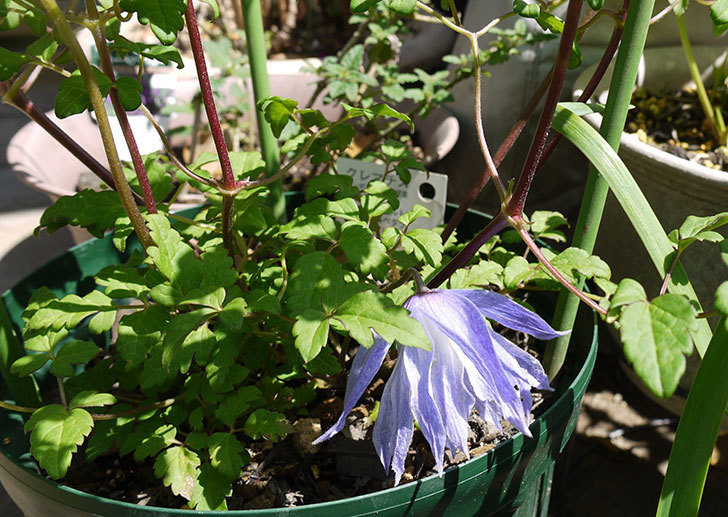 クレマチス-ウェッセルトンの花が1個だけ咲いた2.jpg