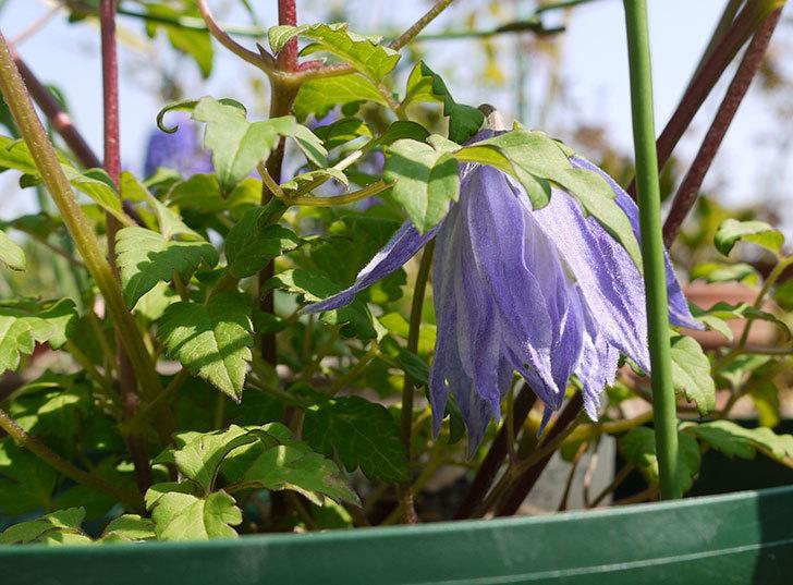 クレマチス-ウェッセルトンの花が1個だけ咲いた4.jpg