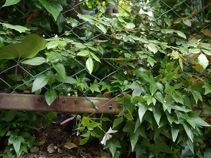 クレマチス-テッセンの開花株を地植えした。2016年-12.jpg